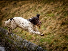 Yehhhh its my first birthday today!!! (Missy Jussy) Tags: birthdayboy razz roxbergrazzle 19thmarch2019 1yrsold outdoor outside piethornevalley fun happiness running englishspringer springerspaniel spaniel water wall grass fields jumping dog dogwalk pet animal ef70200mmf4lusm canoneos5dmarkii canon littledoglaughedstories