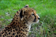 Northeast African Cheetah (Acinonyx jubatus soemmeringii) (Seventh Heaven Photography) Tags: sudan cheetah acinonyx jubatus soemmeringii acinonyxjubatussoemmeringii cat feline carnivore chester zoo cheshire england nikond3200 grass northeast african spotted animal mammal