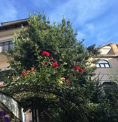 Barolo (Langhe) - Arch of roses (Alessia.Malachiti) Tags: langhe piemonte piedmont wine vino barolo roddino cuneo