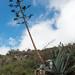 Canary Islands agave