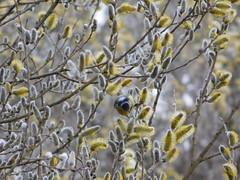 Blaumeise in der Weide (elisabeth.mcghee) Tags: vogel blaumeise weide weidenkätzchen cyanistes caeruleus blue tit salix willow catkin bird oberpfalz upper palatinate unterbibrach