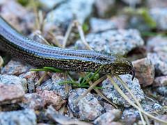 (macg33zr) Tags: reptile kingairloch slowworm