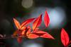 葉 (fumi*23) Tags: ilce7rm3 sony a7r3 plant leaf leaves red nature nandina 55mm aimicronikkor55mmf28s nikon nikkor ニコン ソニー 植物 葉 紅葉 南天