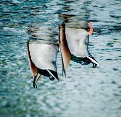 We want out. (Omygodtom) Tags: existinglight exotic art abstract animalplanet animal bird ducks funny d7100 nikon70300mmvrlens wildlife