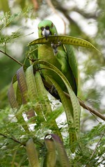 Yellow-naped Parrot (anacm.silva) Tags: yellownapedparrot parrot ave bird wild wildlife nature natureza naturaleza birds aves tárcoles costarica papagaio coth5