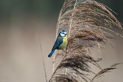 Bluetit (Dave Bickley) Tags: bluetit nottinghamshirewildlifetrust nottinghamshire birds attenboroughnaturereserve fujixt3 fuji