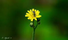 Sweat bee (E. Aguedo) Tags: bee insect flower yellow bokeh wings colors summer macro warwick new england ngc nature
