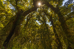 Magic of Forest (StarCitizen) Tags: newzealand rainforest tree woods enchantedforest
