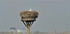 Update !!!!! The stork has recaptured its nest (wilma HW61) Tags: ooievaarsnest storknest nidodicicogne niddecigogne natuur nature natur naturaleza ooievaar stork cigogne dier animal tier beast hattem gelderland nederland niederlande netherlands nikond90 holland holanda paysbas paesibassi paísesbajos europa europe outdoor wilmahw61 wilmawesterhoud