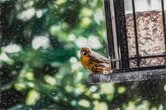 Seed Guard (p[) (davidseibold) Tags: america animal backyard bakersfield bird birdfeeder california kerncounty nature painting photosbydavid platoct sparrow unitedstates usa wildlife