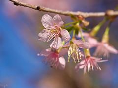 Wild Himalayan Cherry (Prunus cerasoides) (takapata) Tags: olympus em5 mzuiko 60mm f28 macro nature flower