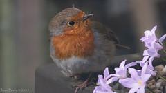 Robin (joanjbberry) Tags: robin wildlife birds bird gardenbirds feathers garden outside animals fujifilmxt3 fujifilm