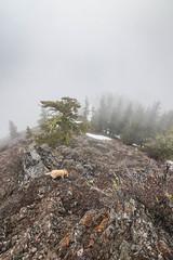 Outro (johnwporter) Tags: hiking scramble snowshoe climbing cascades mountains nationalforest okanoganwenatcheenationalforest tronsenridgepeak 徒步 爬行 雪鞋行 爬山 喀斯喀特山脈 山 國家森林 奧卡諾根韋納奇國家森林 創森脊峯 labrador yellowlab 拉布拉多 黃拉不拉多