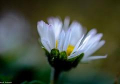 Ein Gänseblümchen/ a daisy (Andi Fritzsch) Tags: gänseblümchen daisy flower flowers flowercolors flowerpower flowerphotography blume blumen blüte nature natur naturephotography closeup closeupphotography macro macrophotography nikond5100 tamron60mm fantasticnature