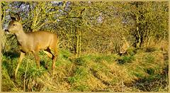 Roe Deer 03180471 (dark-dave) Tags: wildlife bushnell roedeer deer