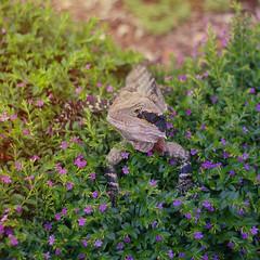 001 (niecky.sapasap) Tags: dragon lizard australia roma park flowers plants botanical garden