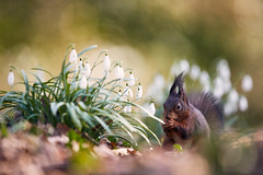 Eichhörnchen (generalstussner) Tags: eichhörnchen squirrel wildlife natur nature snowdrops schneeglöckchen bokeh spring frühling canon animal cute