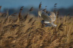 Eating on the go (David Brooker) Tags: barn owl bird prey vole eating flying nature wildlife reeds
