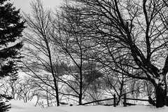Trees in the winter (Tasmanian58) Tags: trees bw nb blackwhite noirblanc landscape paysage contraste neige snow hiver winter tessar zeiss jena 50mm 2850