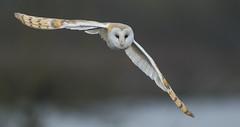 Barn Owl - Poor light., but still magic! (Ann and Chris) Tags: barnowl barn owl looking close eyes flying impressive incoming stunning wild