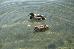 Ducks @ Lake Annecy @ Petit Port @ Annecy-le-Vieux (*_*) Tags: europe france hautesavoie 74 annecy annecylevieux january winter hiver 2019 morning lac lake petitport lacdannecy lakeannecy sunny duck bird animal savoie fog