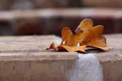 (rozsaphotography) Tags: leaf autumn canon m100 canoneos canoneosm100 50mm18stm 18 stm 50mm canonm100