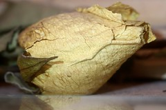 Damaged by Time (-SOLO--) Tags: cracked damaged dried jason plant rose white 19365 2019 smileonsaturday aroseisrose