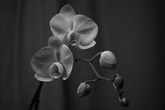 Pagaille et ordre (richard.kralicek.wien) Tags: blackandwhite orchids flowers