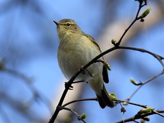 Chiffchaff (doranstacey) Tags: nature wildlife birds chiffchaff ulley countrypark tamron 150600mm nikon d5300 woodland