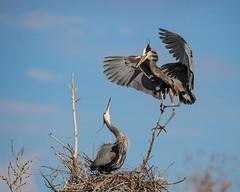 Offering the Gift (droy0521) Tags: birds colorado wildlife birdsinflight outdoors greatblueheron