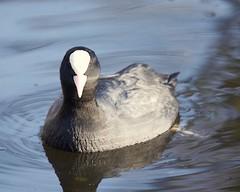 De Meerkoet. (d50harry123) Tags: meerkoet watervogel vogelfotografie burdphotographer birdphotograhy