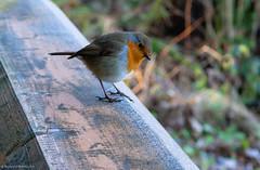 European Robin (Rourkeor) Tags: 35mm 35mmzeisssonnartlens ayrshire carlzeiss culzeancastle dof erithacusrubecula europeanrobin maybole robib scotland sony uk bird fullframe