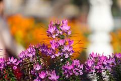 Setembre_0101 (Joanbrebo) Tags: jardín jardí garden flors flores flowers fiori fleur blumen blossom efs55250mmf456isstm sansebastián donostia guipúzcoa españa canoneos80d eosd autofocus