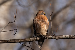 Red Shouldered Hawk (grobinette) Tags: redshoulderedhawk hawk raptor carderockrecreationarea cocanal explored