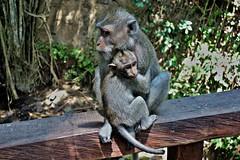 INDONESIEN, Bali , unterwegs in Ubud , im Affenwald, Makaken, 17941/11163 (roba66) Tags: bali urlaub reisen travel explore voyages rundreise visit tourism roba66 asien asia indonesien indonesia insel island île insulaire isla ubud affenwald padangtegal monkeyforest monkey affen javaneraffen makaken macaca wild macaque tier tiere animal animals creature baboon