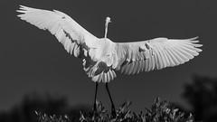 Landing B&W Great Egret (Ardea alba), Haiti (MikeM_1201) Tags: greategret landing bird animal d500 wings tree mangrove bw caracol haiti morning