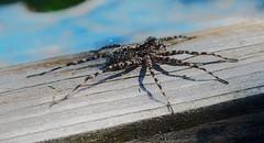 Паук (lvv1937) Tags: лето паукдоска flickrunofficial7112749items