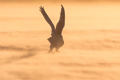 ''Au pays du harfang!'' Harfang des neiges-Snowy owl (pascaleforest) Tags: oiseau bird owl hibou vent cold froid goldenhour passion nature champ nikon wild wildlife faune winter hiver québec canada