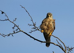 kestrel (farrertracy) Tags: kestrel birdofprey bluesky raptor spring sunshine grey falcon tree