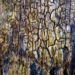 Réseau forestier... (Esteban 86360) Tags: forêt forest bois wood tree arbre moulière vienne poitou france campagne alone landscape country hiver montamisé 86 marron brown écorce branche