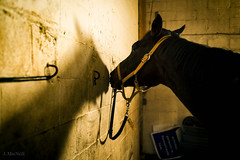 two bellas (Jen MacNeill) Tags: horse horses equine golden shadow shadows thoroughbred tb barn stable tied