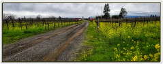 Mustard Drive+hdr (A Work of Mark) Tags: mustard vineyard farm sonomacounty color aurorahdr layers ortoneffect photoshop storm