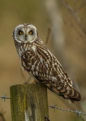 Shorty (waynehavenhand1) Tags: asioflammeus wild wildlife post nature bird birdofprey raptor owl shortearedowl shorty