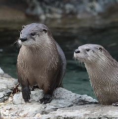 G08A5588.jpg (Mark Dumont) Tags: mammal zoo mark dumont otter cincinnati