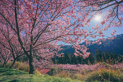 武陵農場 (aelx911) Tags: a7rii a7r2 sony carlzeiss fe1635mm 1635mm landscape cherryblossom cherry taiwan taichung nature 台灣 台中 武陵農場 櫻花
