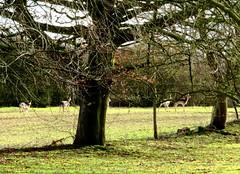 Fallow Deer (Stuart Axe) Tags: deer animal animals fallowdeer essex uk unitedkingdom wildlife gb greatbritain fallow england countyofessex church littleleighs greatleighs