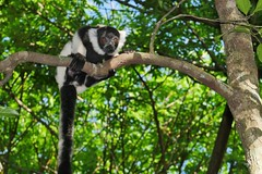 Black and White Ruffed Lemur Youngster (Susan Roehl) Tags: madagascar2017 islandofmadagascar offtheeastcoastofafrica akaninnynofy palmariumreserve blackandwhiteruffedlemurs vareciavariegata criticallyendangered animal mammal herbivore mainlyfruit endemic largestextantmembers lemuridaefamily uptoninepounds upto39feetinlength arboreal highcanopy seasonalrainforests diurnal quadrupedalmotion frugivorous eatsnectar flowers seeds leaves complexsocialstructure loudraucouscalls shortgestationperiod largelitters rapidmaturation sueroehl photographictours naturalexposures panasonic 100400mmlens handheld cropped coth5 ngc npc