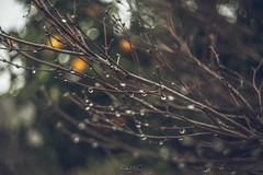 Branches and Water Drops (Rohit KC Photography) Tags: rain branches wet rainy waterdrops fresh blur outdoor bokeh oldlens helios filmlook reflection blurry canon photo photography strands fun canonphotos vintagelens manualfocus focuspeaking angled passionforphotography hobby rainyday funshoot amateur canondslr canon5dmarkii fullframe homephotography blurredbackground faded photographer photographylife flickr