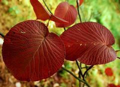 autumn leaves in Rogów (stempel*) Tags: polska poland polen polonia gambezia pentax k30 leaf red liść arboretum rogów