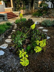 22,244 (joeginder) Tags: jrglongbeach garden aeonium flowers linden night